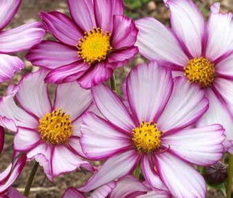 Cosmos Candy Stripe Seeds - Cosmos Bipinnatus