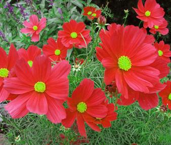 Cosmos Dazzler Seeds - Cosmos Bipinnatus