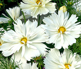 Cosmos Psyche White Seeds - Cosmos Bipinnatus
