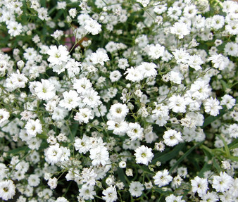 Creeping Baby's Breath Seeds - Gypsophila Repens Alba