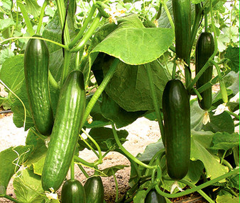 Cucumber Beit Alpha Organic Seeds - Cucumis Sativus