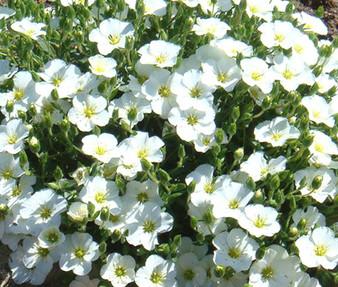 Cup Flower White Robe Seeds - Nierembergia Hippomanica