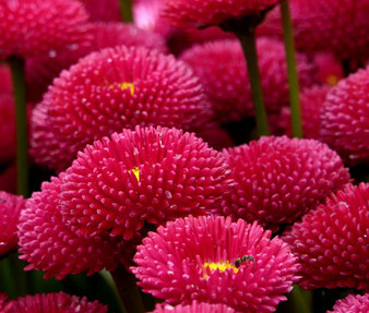 English Daisy Red Seeds - Bellis Perennis Super Enorma