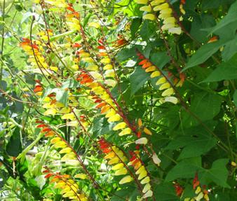 Firecracker Vine Seeds - Ipomoea Lobata