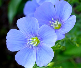 Flax Blue Perennial Non GMO Seeds - Linum Perenne