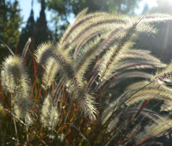 Fountain Grass Black Seeds - Pennisetum Alopecuroides Viridescens