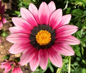 Gazania Garden Leader Pink Seeds - Gazania Rigens