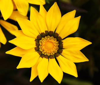 Gazania Garden Leader Yellow Seeds - Gazania Rigens