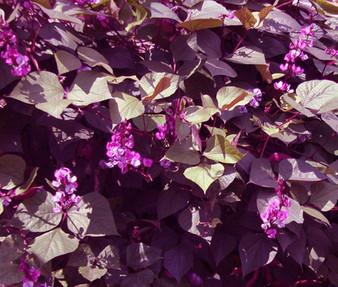 Hyacinth Bean Red Leaved Non GMO Seeds - Lablab Purpureus