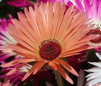 Ice Plant Gelato Orange Seeds - Dorotheanthus Bellidiformis