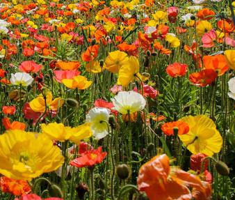 Iceland Poppy Seeds - Papaver Nudicaule