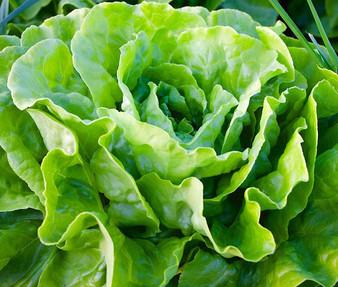 Lettuce Butterhead Buttercrunch Organic Seeds - Lactuca Sativa