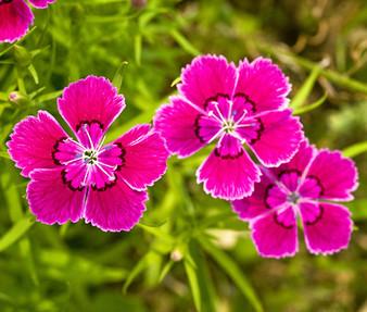 Maiden Pinks Seeds - Dianthus Deltoides