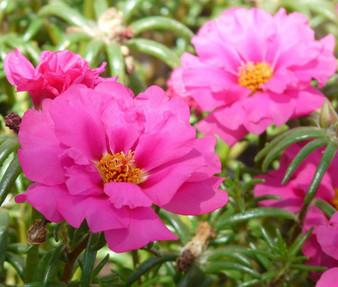 Moss Rose Pink Seeds - Portulaca Grandiflora