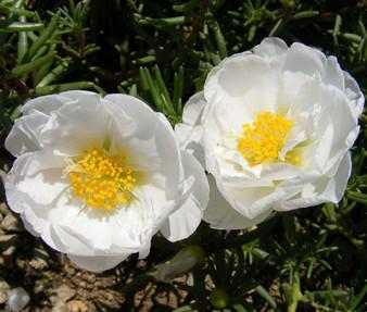 Moss Rose White Seeds - Portulaca Grandiflora