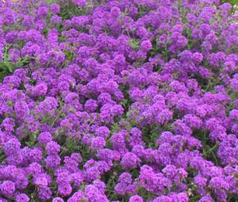Moss Verbena Seeds - Verbena Tenuisecta