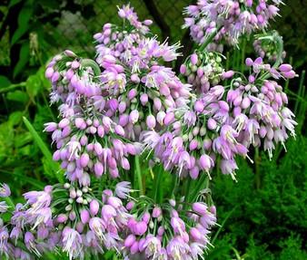 Nodding Pink Onion Non GMO Seeds - Allium Cernuum