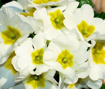 Primrose English Accord White Seeds - Primula Vulgaris
