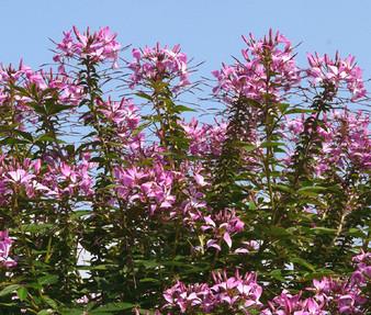 Rocky Mountain Bee Plant Seeds - Cleome Serrulata
