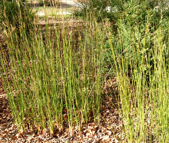 Rush Javelin Seeds - Juncus Pallidus