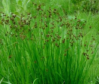 Rush Swordleaf Seeds - Juncus Ensifolius