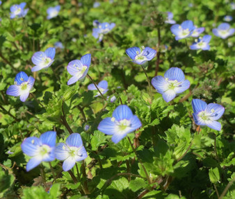 Speedwell Creeping Blue Seeds - Veronica Repens