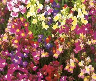 Spurred Snapdragon Toadflax Fairy Bouquet Seeds - Linaria Maroccana