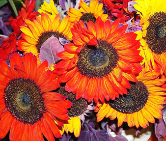 Sunflower Autumn Beauty Non GMO Seeds - Helianthus Annuus