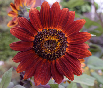 Sunflower Velvet Queen Non GMO Seeds - Helianthus Annuus
