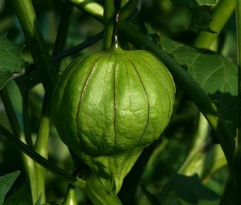 Tomatillo Green Organic Seeds - Physalis Philadelphica