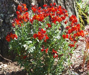 Wallflower English Seeds - Cheiranthus Cheiri