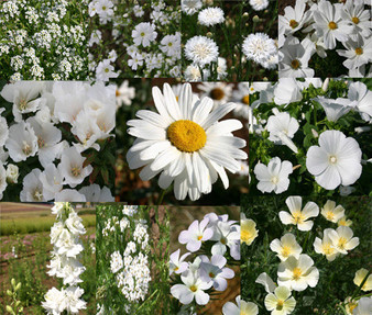 Wildflower Mix White Seeds