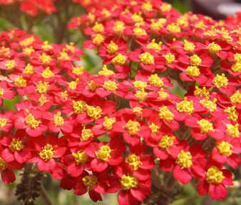 Yarrow Red Non GMO Seeds - Achillea Millefolium Rubrum