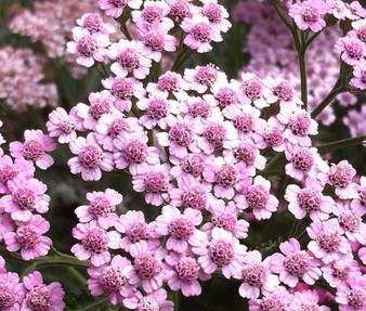 Yarrow Rose Non GMO Seeds - Achillea Millefolium