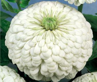 Zinnia White Polar Bear Seeds - Zinnia Elegans