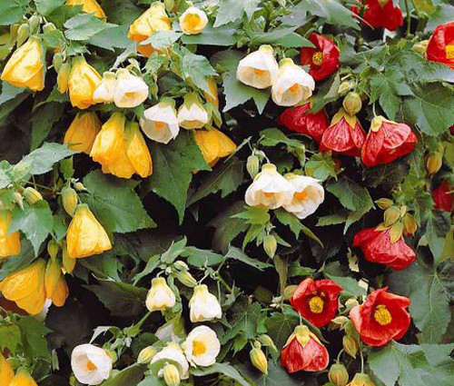 Abutilon Bellevue Mix Seeds - Abutilon Hybridum