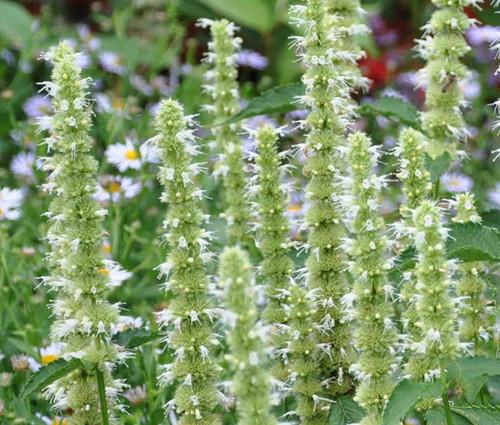 Agastache Giant Hyssop White Non GMO Seeds - Agastache Mexicana