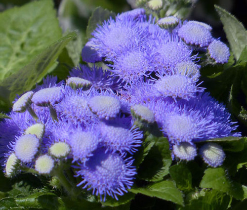 Ageratum Blue Mink Seeds - Ageratum Houstonianum