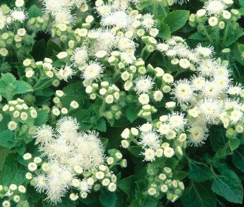 Ageratum White Seeds - Ageratum Mexicanum