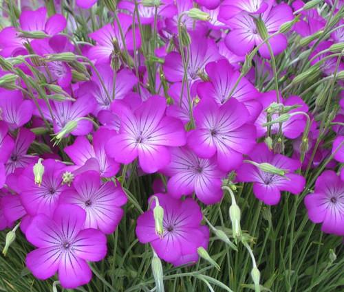 Agrostemma Rose Seeds - Agrostemma Githago