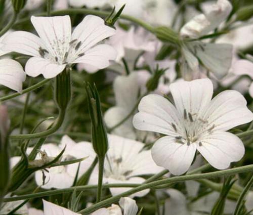 Agrostemma White Seeds - Agrostemma Githago Bianca
