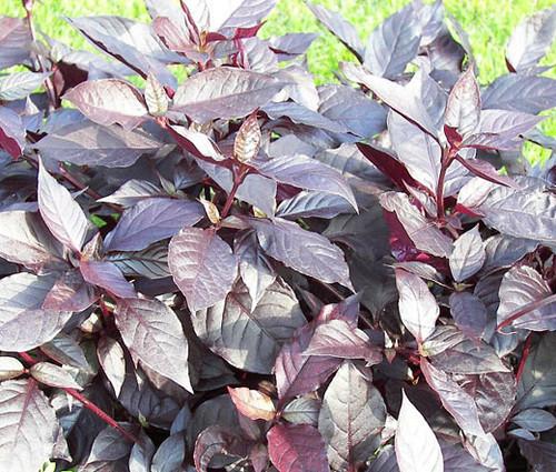 Alternanthera Purple Knight Seeds - Alternanthera Brasiliana