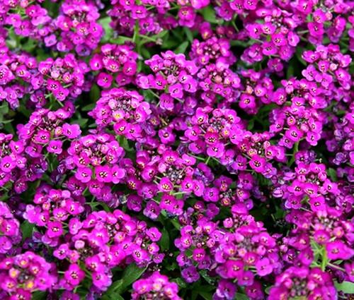 Alyssum Purple Royal Carpet Seeds - Lobularia Maritima
