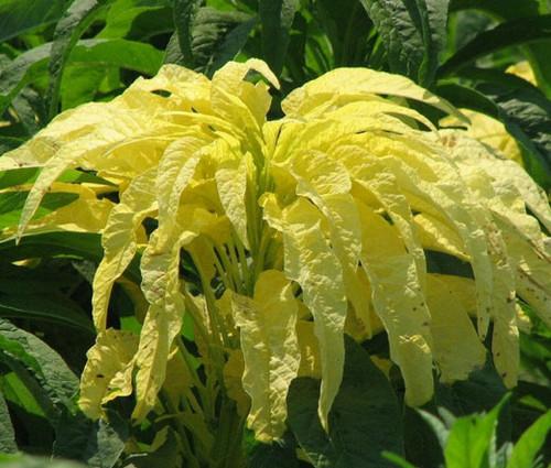Amaranthus Yellow Seeds - Amaranthus Tricolor