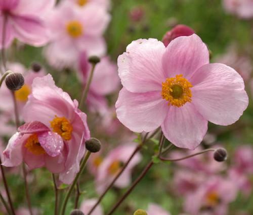Anemone Pink Saucer Seeds - Anemone Hupehensis