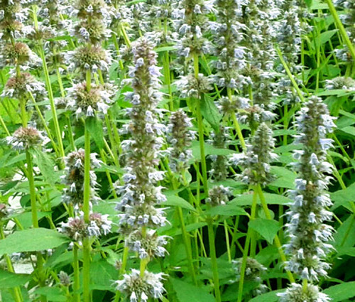 Anise Hyssop Snow Spike Non GMO Seeds - Agastache Foeniculum