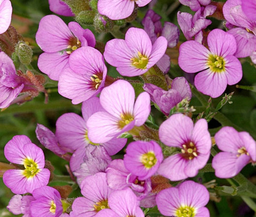 Arabis Wall Rock Cress Pink Seeds - Arabis Alpina Caucasica Rosea