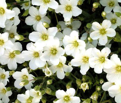 Arenaria Mountain Sandwort Seeds - Arenaria Montana