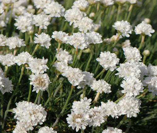 Armeria White Sea Thrift Seeds - Armeria Maritima Alba