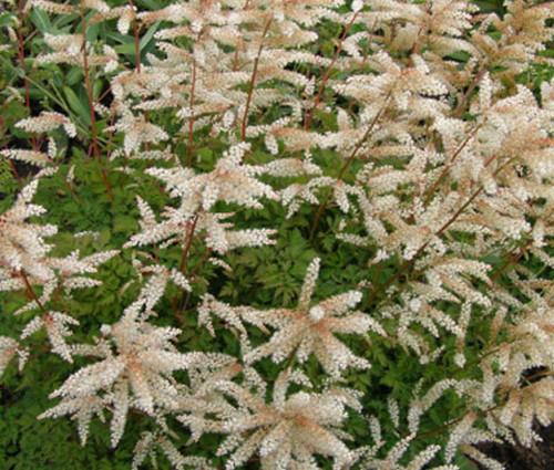 Aruncus Noble Spirits Seeds - Aruncus Aethusifolius